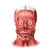 Front View Digital Art Posters - Medical Illustration Of Male Facial Poster by Stocktrek Images