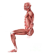 Biomedical Illustrations Posters - Medical Illustration Of Male Muscles Poster by Stocktrek Images