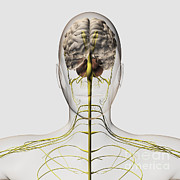 Neuroscience Digital Art - Medical Illustration Of The Human by Stocktrek Images