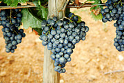 Merlot Photos - Merlot Grapes by Thomas Marchessault