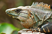 Fauna Pyrography Metal Prints - Mexican Iguana Metal Print by Paul Pascal