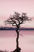 Scottish Scenery Prints - Millarochy Bay Tree Loch Lomond Print by John Farnan