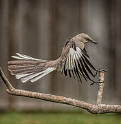 Mockingbird Photo Posters - Mockingbird  Poster by Rick Barnard