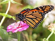Janet Immordino - Monarch Butterfly