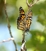 Monarch Print by Lori Tordsen