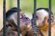 Sympathy Metal Prints - Monkey species Cebus Apella behind bars Metal Print by Michal Bednarek