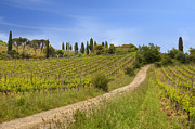 Vineyards Photos - Montalcino by Joana Kruse