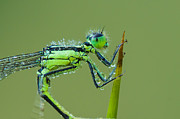 Netting Posters - Morning Damselfly Poster by Mircea Costina Photography
