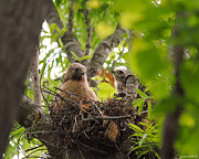 Red-shouldered Hawk Posters - Mother and Baby Red Shouldered Hawk Poster by Jai Johnson