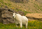 Natural Focal Point Photography - Mountain Goat in Glacier...
