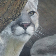 Cougars Prints - Mountain Lion Painterly Print by Ernie Echols