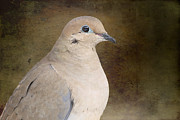 Pretty Brown Eyes Posters - Mourning Dove Poster by Michel Soucy