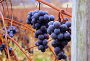 Concord Grapes Prints - Naples Valley Print by Michael Carter