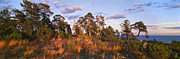 Pine Trees Art - National Park VALAAMSKY by Anonymous