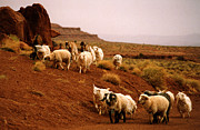 Robert Lozen Metal Prints - Navajo Sheep Metal Print by Robert Lozen
