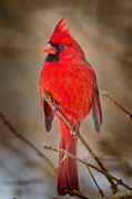 Male Northern Cardinal Framed Prints - Northern Cardinal Framed Print by Bill  Wakeley