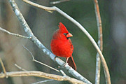 Bob Richter - Northern Cardinal