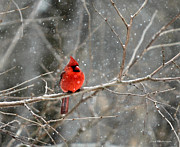 Red Bird In Snow Prints - Northern Cardinal Print by Clare VanderVeen