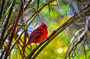 Bird On Tree Pyrography Prints - Northern Cardinal Print by Travis Childs