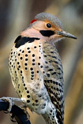 Woodpeckers Framed Prints - Northern Flicker Framed Print by Bill  Wakeley