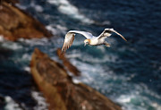 Chordata Framed Prints - Northern Gannet Framed Print by Grant Glendinning