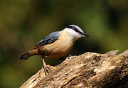 Bird Prints Photos - Nuthatch by Grant Glendinning