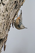 Jim Nelson - Nuthatch