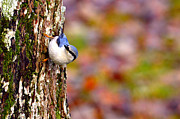 Birdwatching Originals - Nuthatch Sitta europaea by Tommy Hammarsten