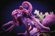 Octopuses Photos - Octopus Israel by Reynold Mainse