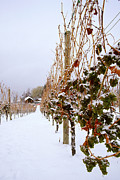 Ice Wine Prints - Okanagan Valley Vineyards in Winter Print by Kevin Miller