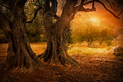 Mythja  Photography - Old olive tree