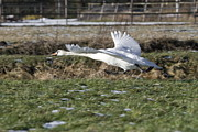 Klm Photos - On flying mute swan Netherlands by Ronald Jansen