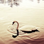 Swan Art Prints - On Golden Pond Print by Sharon Lisa Clarke