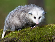 Opossum  Print by Paul Cannon