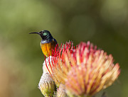 Jean-Luc Baron - Orange-breasted Sunbird