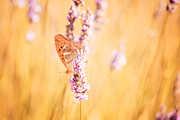 Provence Photos - Orange butterfly by Matteo Colombo
