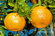 Orange Photos - Orange Fruit Growing On Tree by Millard H. Sharp