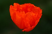 Carol Welsh - Orange Iceland Poppy