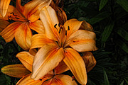 Lilies Digital Art Posters - Orange Lilies Poster by Lena Auxier