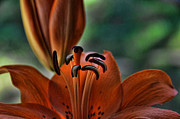 Orange Lilly  Print by Saija  Lehtonen