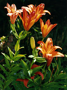 Robert Lozen Metal Prints - Orange Tiger Lilies Metal Print by Robert Lozen