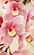 Flower Design Framed Prints - Orchids Framed Print by Carlos Caetano