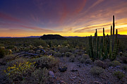 Saija  Lehtonen - Organ Pipe Cactus Sunset