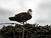 Anthony Jones - Osprey Nest