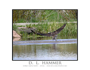 Trout Poster Photo Posters - Osprey Taking Trout Poster by Dennis Hammer