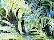 Ostrich Fern Framed Prints - Ostrich Fern Framed Print by Gene Cyr