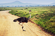 Kenya Art - Ostrich on savanna. Safari in Tanzania. by Michal Bednarek