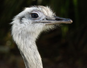 Ostrich Photos - Ostrich by Raymond Earley