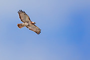 Redtail Hawk Prints - Out Of the Blue Print by Bill  Wakeley