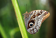 Owl Print Prints - Owl Butterfly Print by Grant Glendinning